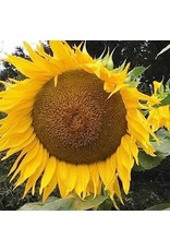 Seed Saver's Exchange Sunflower, Titan