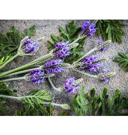 Baker Creek Seeds Lavender, Origano