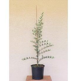 Olive - Arbequina 3 Gallon