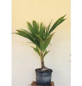 Coconut - Fiji Dwarf 7 Gallon