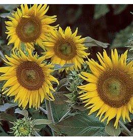 Seed Saver's Exchange Sunflower, Irish Eyes