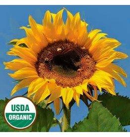 Seed Saver's Exchange Sunflower, Tarahumara