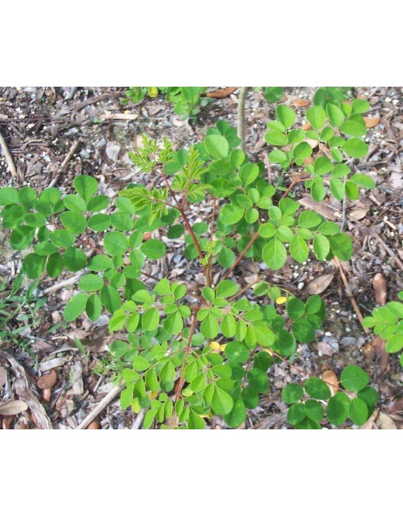 ECHO Seed Bank Moringa Seed - Florida Mix