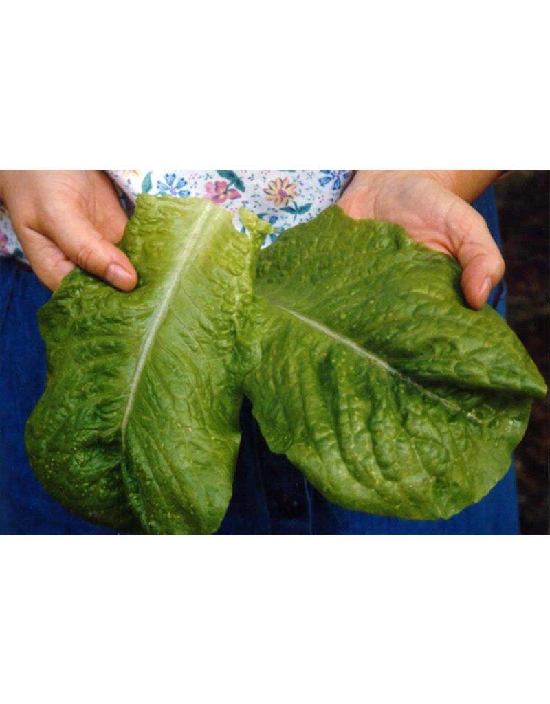 ECHO Seed Bank Lettuce, Queensland