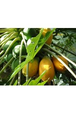 ECHO Seed Bank Papaya - Red Lady