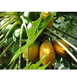 ECHO Seed Bank Papaya - Red Lady