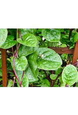 Spinach, Red Malabar
