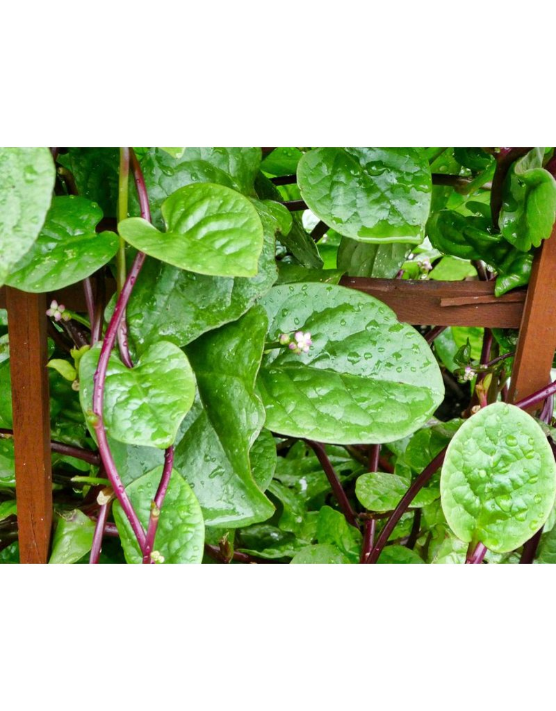 ECHO Seed Bank Spinach, Red Malabar