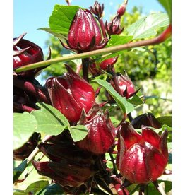 ECHO Seed Bank Roselle