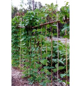 ECHO Seed Bank Bean, Winged