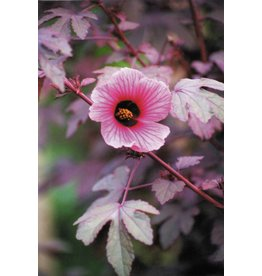 ECHO Seed Bank Cranberry Hibiscus