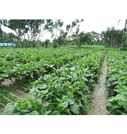 ECHO Seed Bank Spinach, Malabar Green Vines