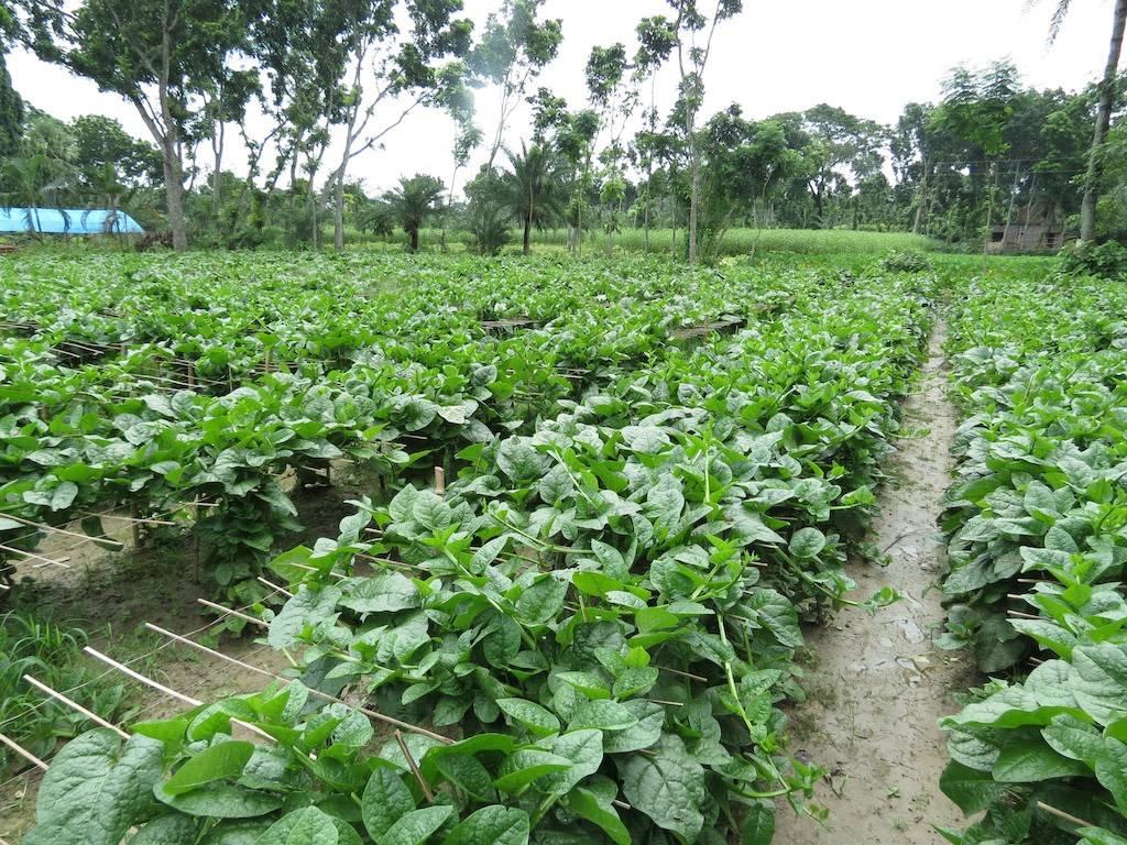 Spinach, Malabar Green Vines