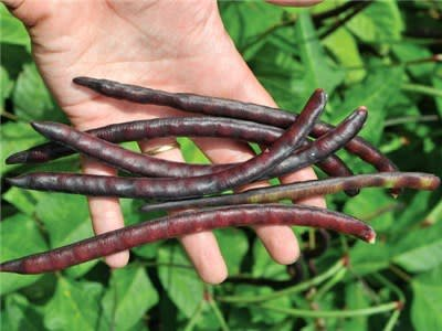 Baker Creek Seeds Cowpea, Purple Hull Pinkeye