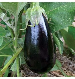 Seed Saver's Exchange Eggplant, Florida High Bush