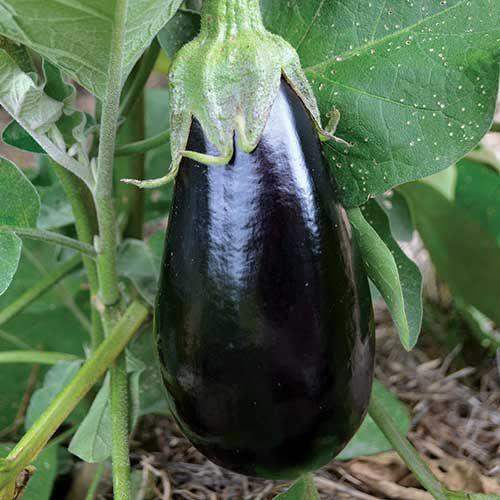 Seed Saver's Exchange Eggplant, Florida High Bush