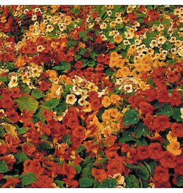 Seed Saver's Exchange Flower, Tip Top Nasturtium