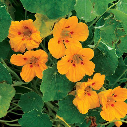 Seed Saver's Exchange Flowers, Ladybird Nasturtium