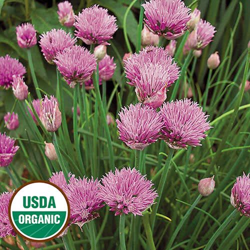 Seed Saver's Exchange Herb, Chives