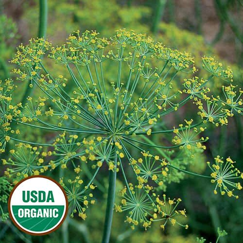 Seed Saver's Exchange Herb, Dill Bouquet Seed