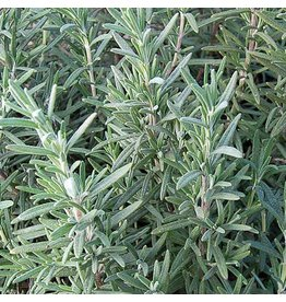 Seed Saver's Exchange Herb, Rosemary