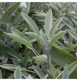 Seed Saver's Exchange Herb, Sage Green Culinary
