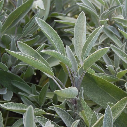 Seed Saver's Exchange Herb, Sage Green Culinary