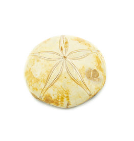 Fossilized Sand Dollar