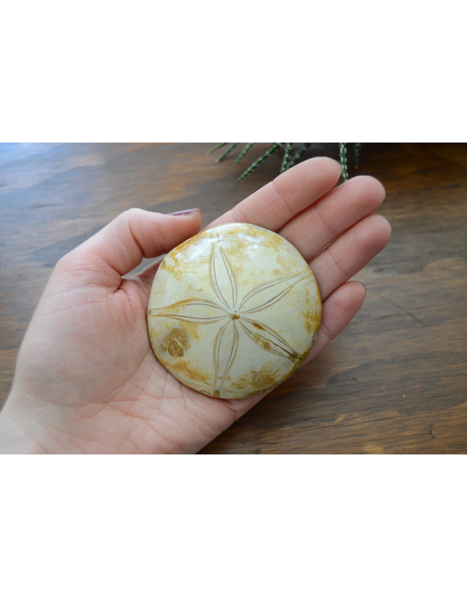 Fossilized Sand Dollar