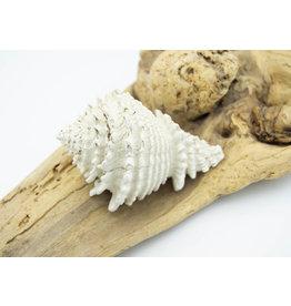 Fossil Shell - Murex (Florida)
