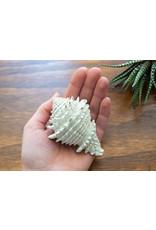 Fossil Shell - Murex(Florida)
