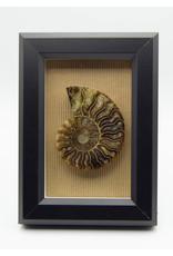 Cadre noir Ammonite