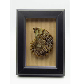 Black Frame Ammonite