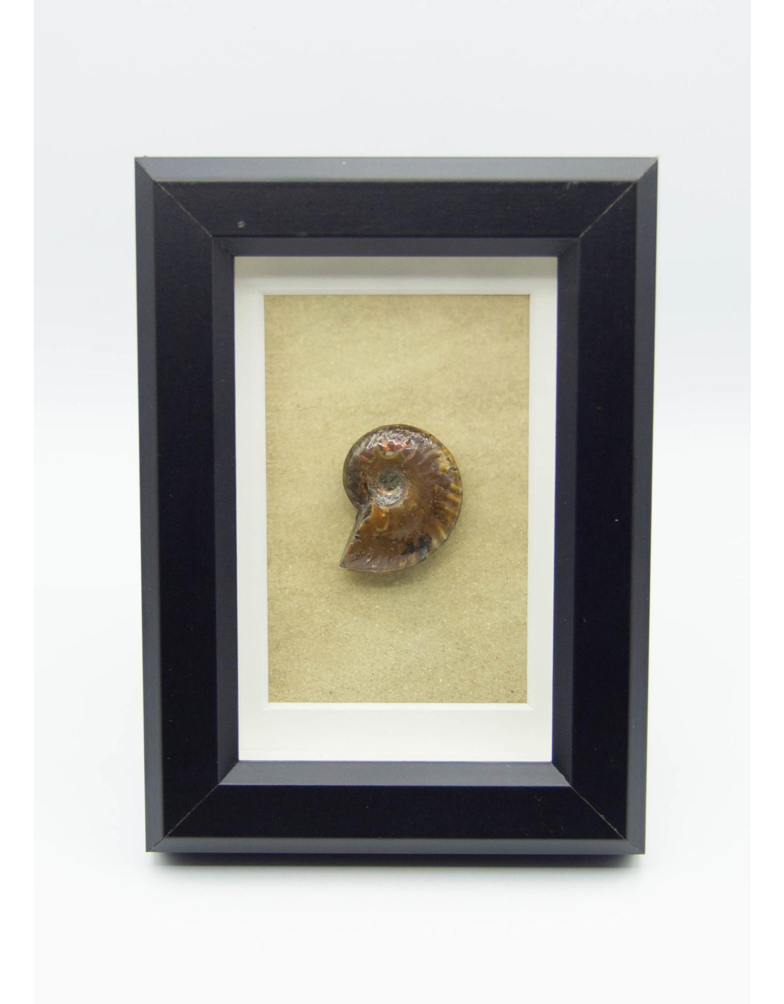 Cadre Ammonite
