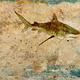 John Baran TIGER SHARK WITH MAP, 9X12 PRINT ON WOOD