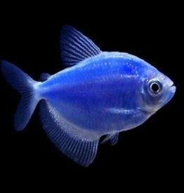 GLOFISH - COSMIC BLUE TETRA