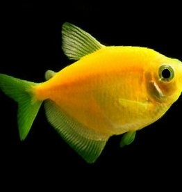 GLOFISH - Sunburst Orange