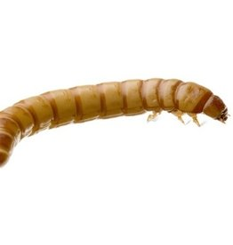 King  Meal Worms Single