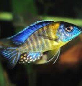 "Aulonocara stuartgranti ""Chiwindi"" - Blue Neon Peacocks"