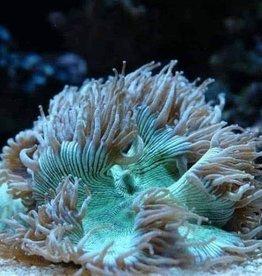 Elegance Coral Pink/Purple Tip Lg (Catalaphyllia Jardinei)