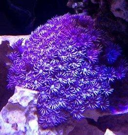 Flowerpot Purple (Goniopora Sp.)