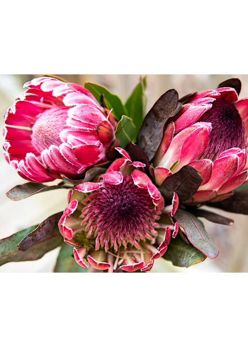 Pink Picasso Pretty Protea Paint By Numbers Kit