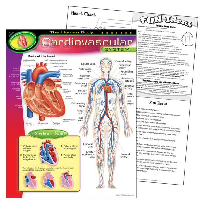 Human Body-Cardiovascular-Chart