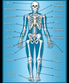 Skeleton Chart