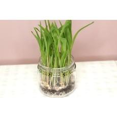 Saulice Micro-pousses de maïs - Le petit pot des rigolos