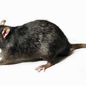 Frozen LG Rat