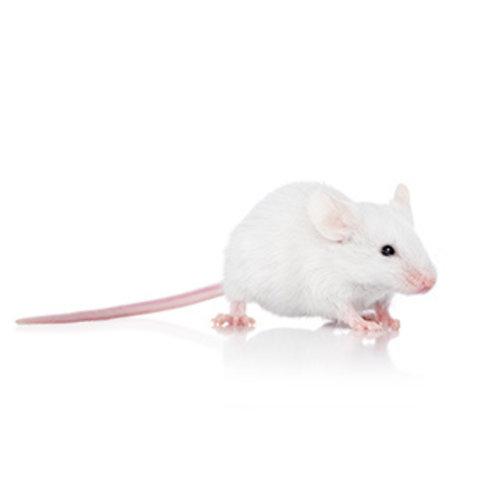 Frozen Adult Mouse