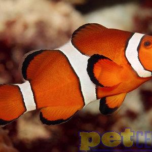 Sustainable Aquatics Ocellaris Clownfish SM