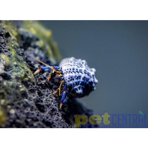 "Dwarf Blue Leg Hermit Crab (.25-.75"")"