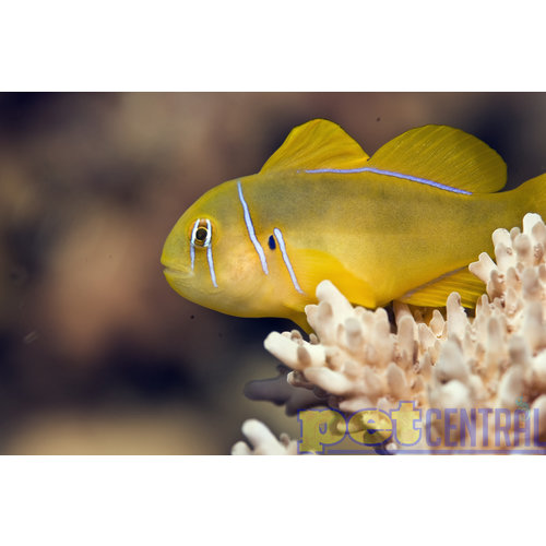 Citron Goby LG